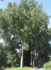 175px-Populier Populus canadensis