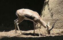 240px-Speke's Gazelle