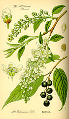 140px-Illustration Prunus avium0