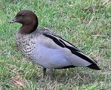 240px-Australian Wood Duck Male