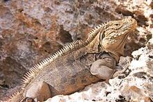 Iguana at the Iguanas island near Cayo Largo shot 01