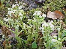 240px-Petasites albus1