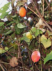 175px-Trichosanthes cucumeroides fruits1