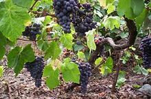 240px-Listan Negro grapes in Tenerife