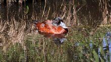 Maccoa Duck (Oxyura maccoa) (2)