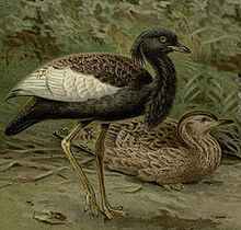 240px-BengalFlorican