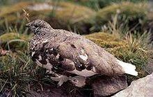 240px-White-tailed Ptarmigan, Rocky Mountains, Alberta