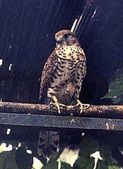 175px-Falco punctatus
