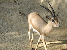 240px-Slender-horned gazelle (Cincinnati Zoo)