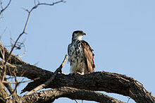 240px-African Hawk-eagle 2406377144