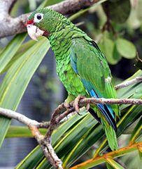 203px-Puerto Rican parrot