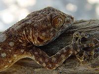 200px-Ptyodactylus hasselquistii guttatus (1)