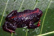 Melanophryniscus dorsalis02