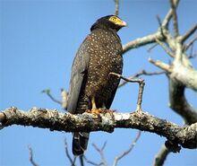 Andaman serpent eagle dfb