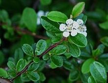 240px-Cotoneaster dammeri (22)