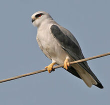 240px-Black-shouldered Kite (Elanus caeruleus) in Kawal WS, AP W IMG 1681