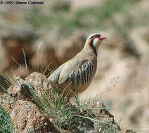 Rusty-necklacedpartridge,chakadesert,28jul02