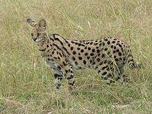 240px-Serval in Tanzania