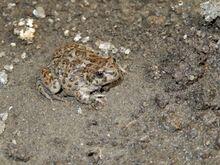 Laguna Raimunda Frog (Atelognathus reverberii)
