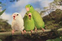 Manu-Parrotlet-Amazonian-Parrotlet-3