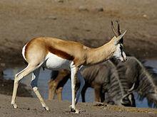 240px-Antidorcas marsupialis