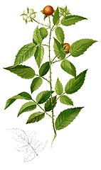 142px-Rubus acuminatissimus Blanco2.416-cropped