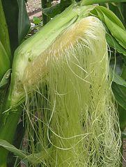 181px-Suikermais bloeiende kolf Zea mays