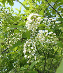 208px-Prunus virginiana flowers