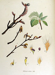 178px-Populus alba — Flora Batava — Volume v15
