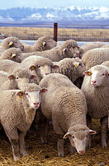 158px-Flock of sheep