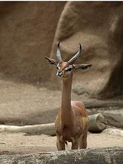Mature male gerenuk Litocranius walleri