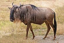 240px-Blue Wildebeest, Ngorongoro