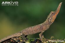 Male-rough-nose-horned-lizard