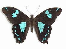 240px-Papilio phorbanta Linnaeus, 1771