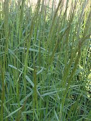 180px-Hoog struisgras pluimen (Agrostis gigantea inflorescens)
