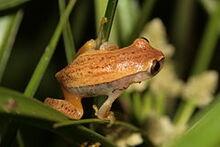 Dendropsophus nanus01