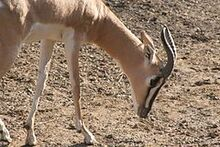 Soemmerring's Gazelle, St. Louis Zoo