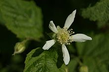 220px-Tayberry flower