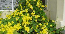 00-herpetospermum-pedunculosum-flor-medium