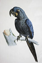 158px-Anodorhynchus glaucus