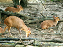 240px-Formosan Reeve's muntjac