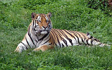 Panthera tigris altaica in Lodz Zoo 1