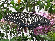 240px-Papilio xuthus 070707