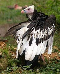 193px-White-headed Vulture