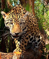 198px-Junior-Jaguar-Belize-Zoo