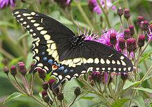 240px-Black Swallowtail Papilio polyxenes 1700px