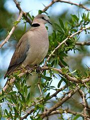 180px-Ring-necked-Dove-Masai-Mara