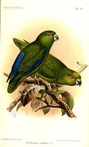145px-PsittaculaSclateriKeulemans