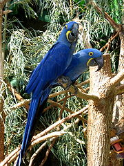 180px-Hyacinth Macaws at the Tennessee Aquarium