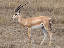 240px-Grant's Gazelle taxobox